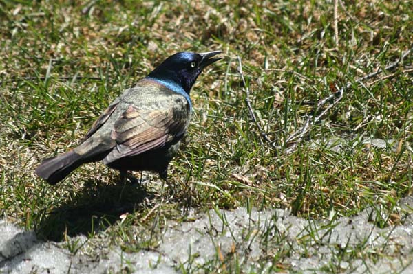Common Grackle | Quiscalus quiscula photo