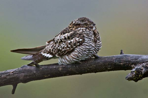 Common Nighthawk | Chordeiles minor photo