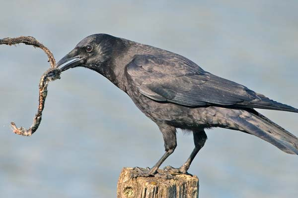 Common Raven | Corvus corax photo
