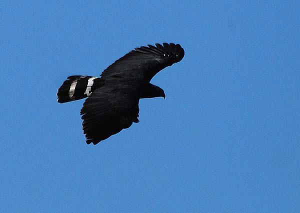 Crane Hawk   Geranospiza caerulescens photo
