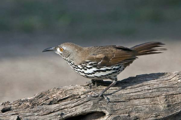 Curve-billed Thrasher | Toxostoma curvirostre photo
