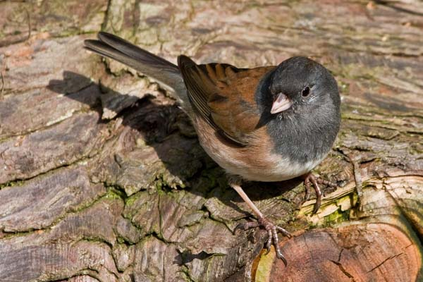 Dark-eyed Junco | Junco hyemalis photo
