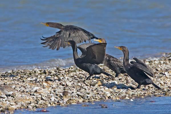 Double-crested Cormorant | Phalacrocorax auritus photo
