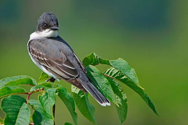 Eastern Kingbird | Tyrannus tyrannus photo