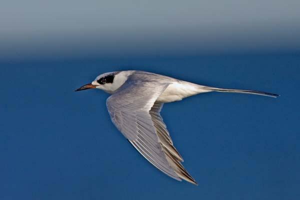 Forster's Tern | Sterna forsteri photo