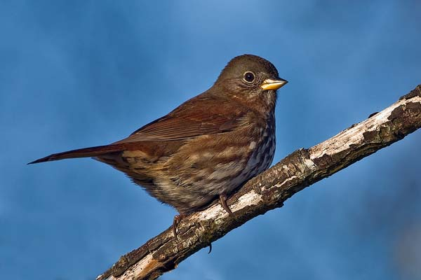 Fox Sparrow | Passerella iliaca photo