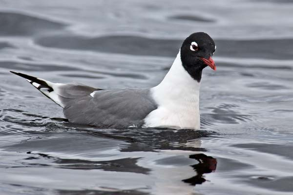 Franklin's Gull | Larus pipixcan photo