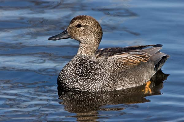 Gadwall | Anas strepera photo
