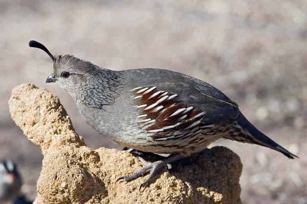 Gambel's Quail | Callipepla gambelii photo