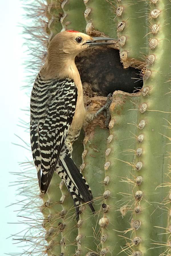 Gila Woodpecker | Melanerpes uropygialis photo