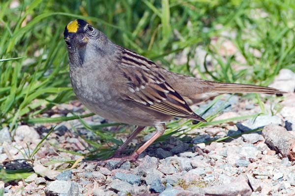 Golden-crowned Sparrow | Zonotrichia atricapilla photo
