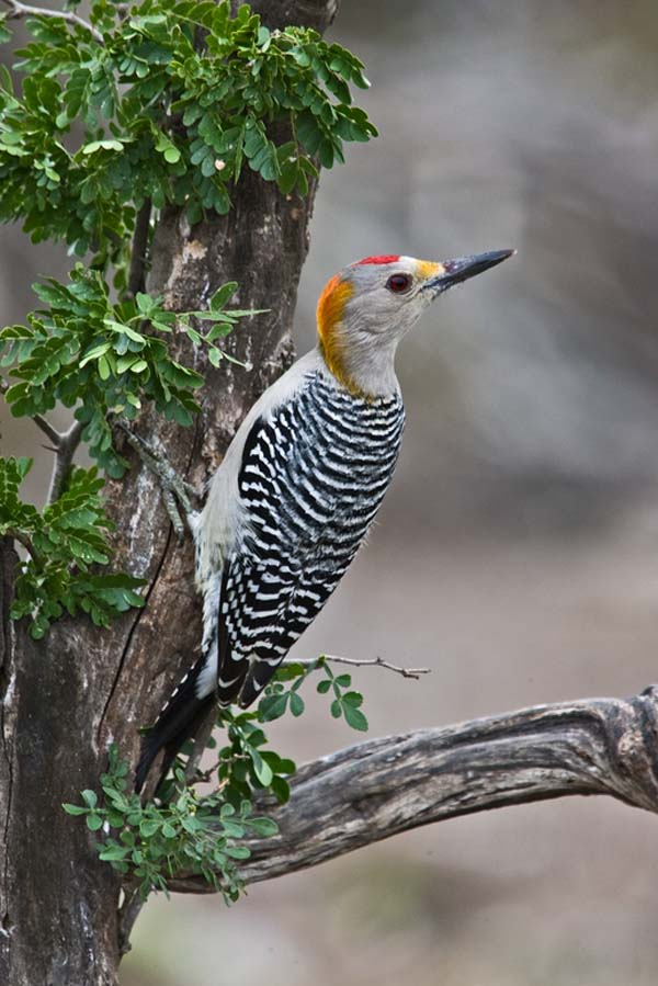 Golden-fronted Woodpecker | Melanerpes aurifrons photo