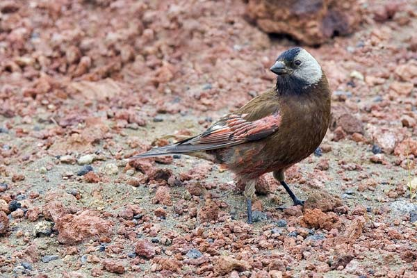 Gray-crowned Rosy-Finch | Leucosticte tephrocotis photo
