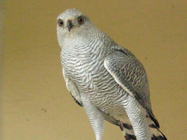 Gray Hawk | Buteo nitidus photo