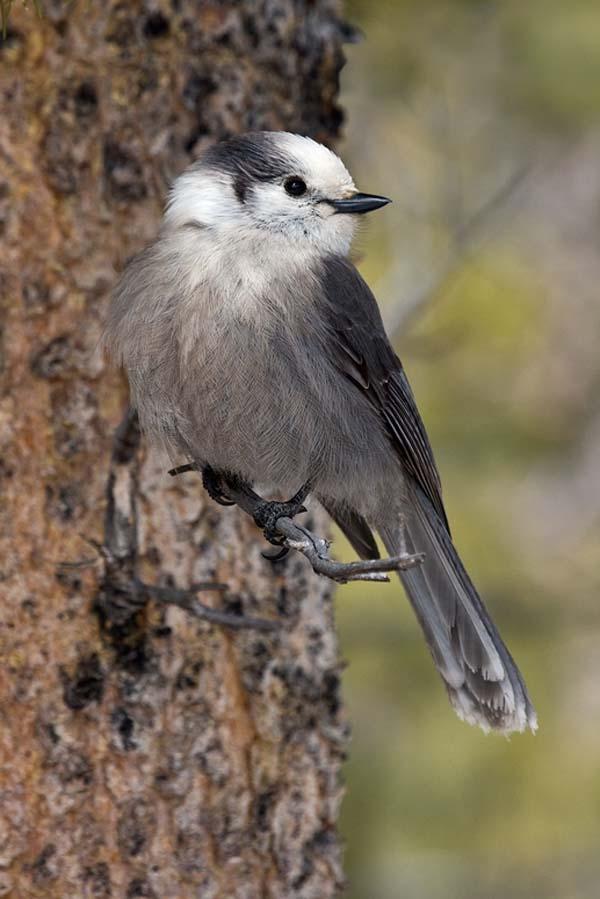 Gray Jay | Perisoreus canadensis photo