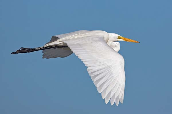 Great Egret | Ardea alba photo