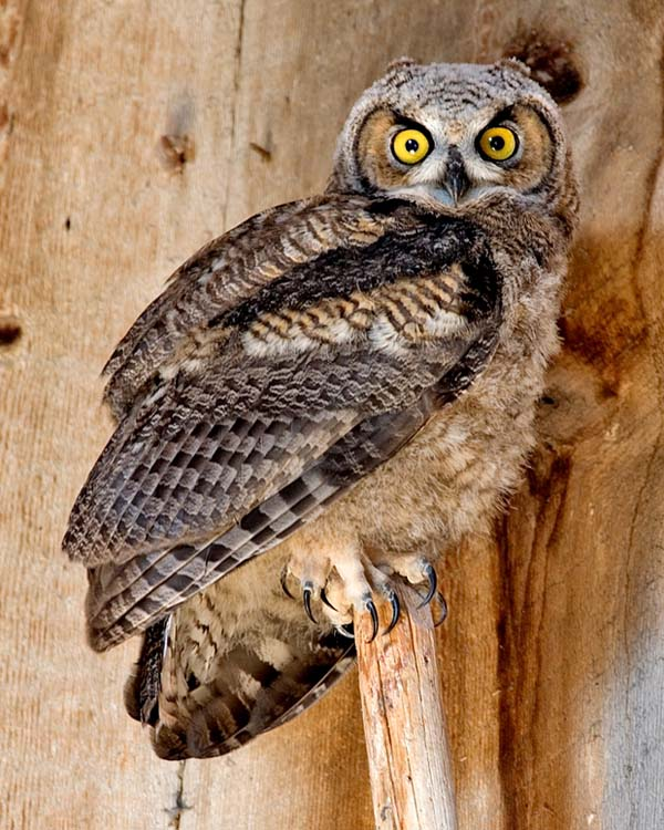 Great Horned Owl | Bubo virginianus photo