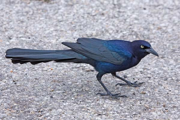 Great-tailed Grackle | Quiscalus mexicanus photo