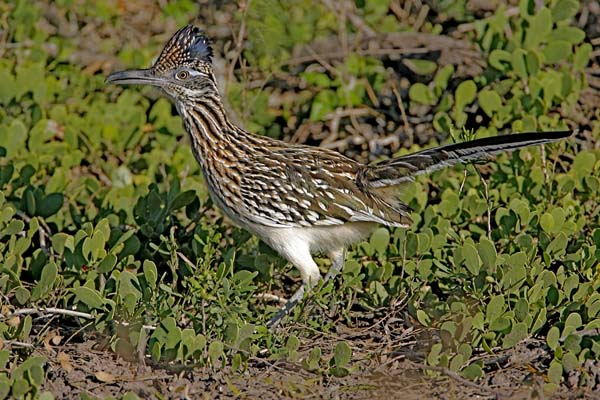 Greater Roadrunner | Geococcyx californianus photo