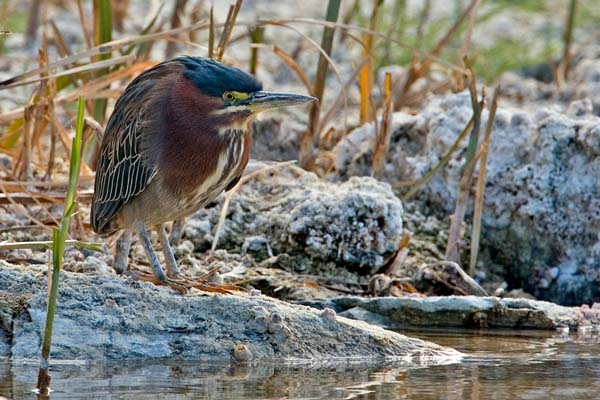 Green Heron | Butorides virescens photo