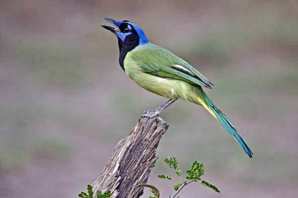 Green Jay | Cyanocorax yncas photo