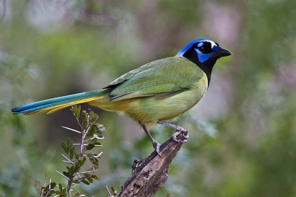 Green Jay | Cyanocorax yncas photo