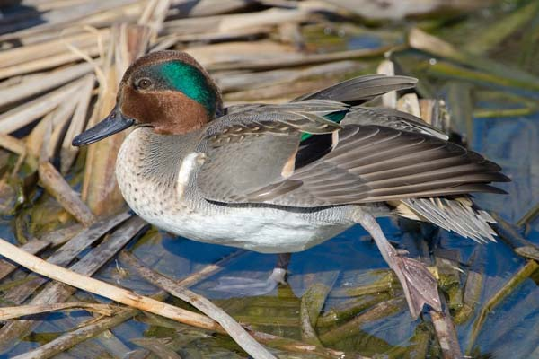 Green-winged Teal | Anas crecca photo