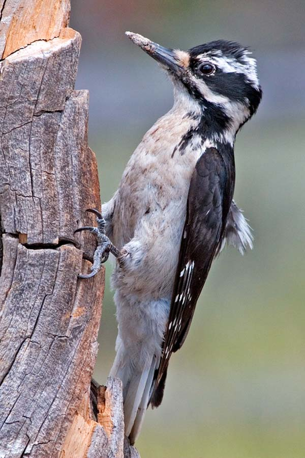 Hairy Woodpecker | Picoides villosus photo