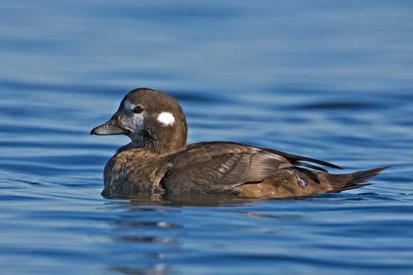 Harlequin Duck | Histrionicus histrionicus photo