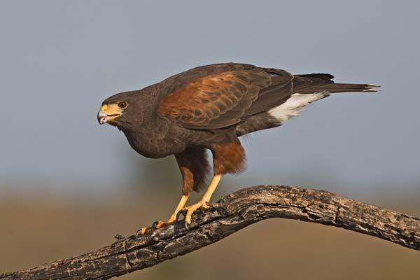 Harris's Hawk   Parabuteo unicinctus photo