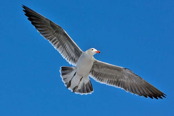 Heermann's Gull | Larus heermanni photo