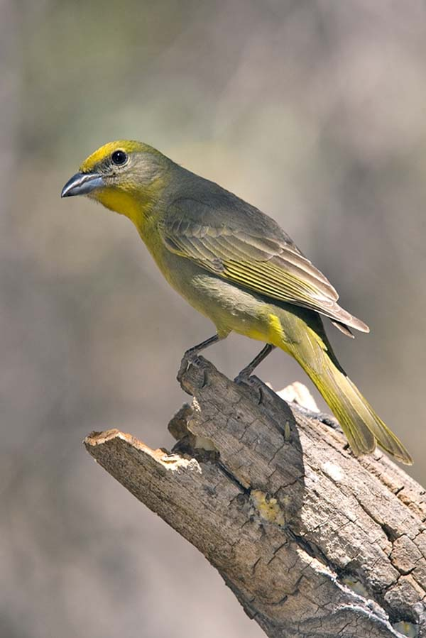 Hepatic Tanager | Piranga flava photo