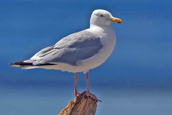 Herring Gull | Larus argentatus photo