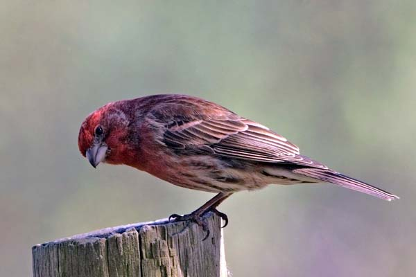 House Finch | Carpodacus mexicanus photo