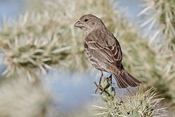 House Finch | Carpodacus mexicanus photo