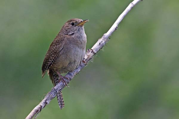 House Wren | Troglodytes aedon photo