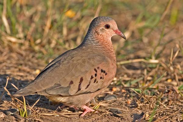 Inca Dove | Columbina inca photo