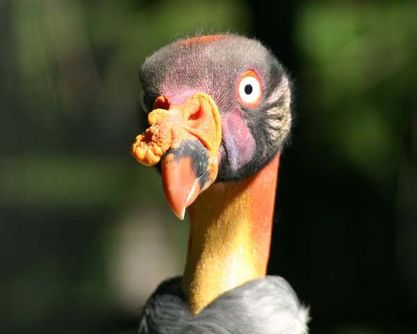 King Vulture | Sarcoramphus papa photo