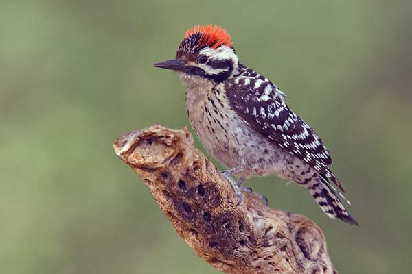 Ladder-backed Woodpecker | Picoides scalaris photo