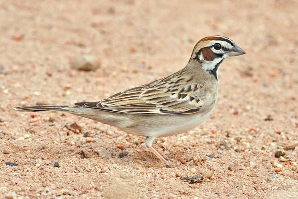 Lark Sparrow   Chondestes grammacus photo