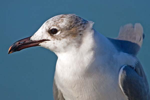 Laughing Gull | Larus atricilla photo