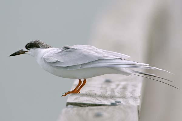 Least Tern | Sternula antillarum photo