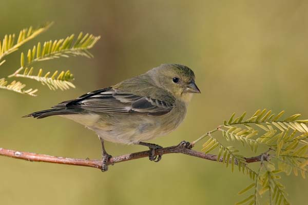 Lesser Goldfinch | Carduelis psaltria photo