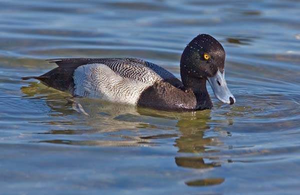 Lesser Scaup | Aythya affinis photo