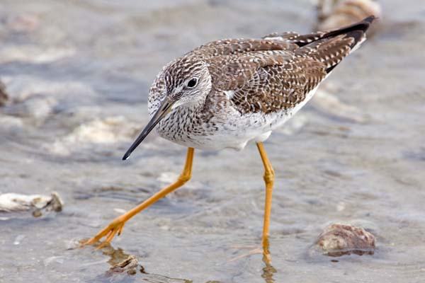 Lesser Yellowlegs | Tringa flavipes photo