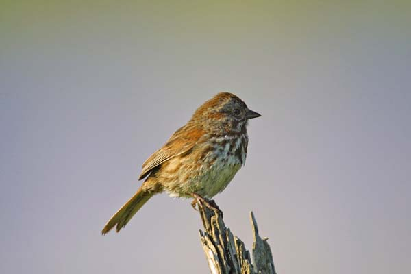 Lincoln's Sparrow | Melospiza lincolnii photo