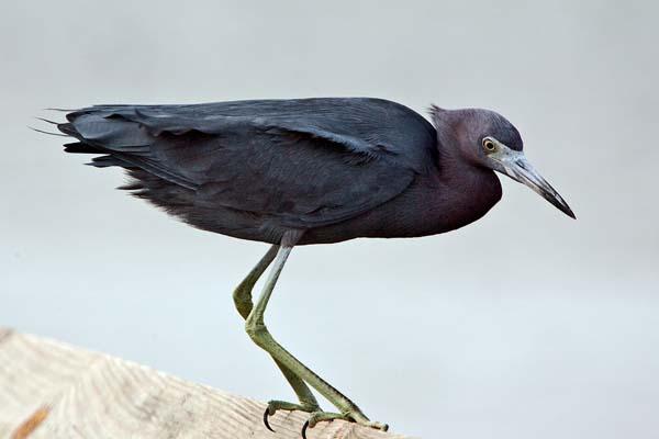 Little Blue Heron | Egretta caerulea photo