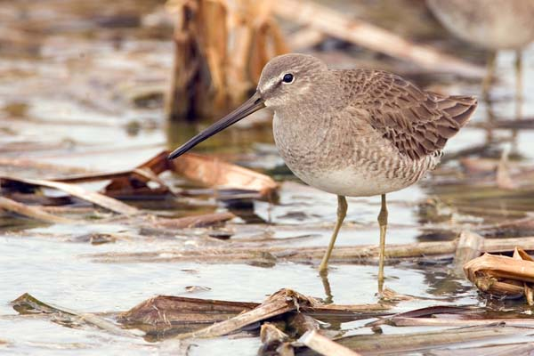 Long-billed Dowitcher | Limnodromus scolopaceus photo
