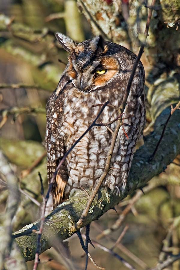 Long-eared Owl | Asio otus photo