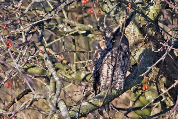 Long-eared Owl   Asio otus photo